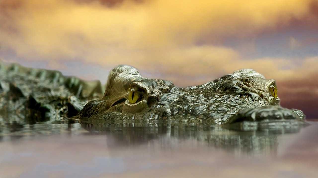 Szennyvízcsatorna krokodil